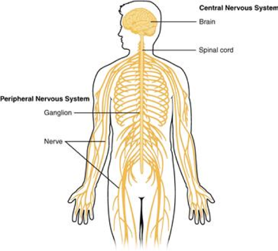 Overview of the nervous system. Wikimedia