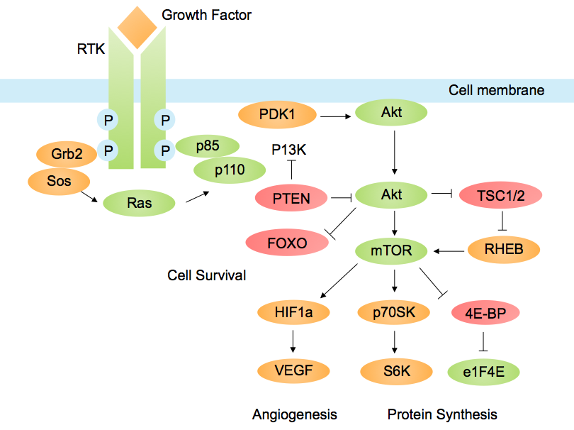 PI3K/AKT pathway in cancer