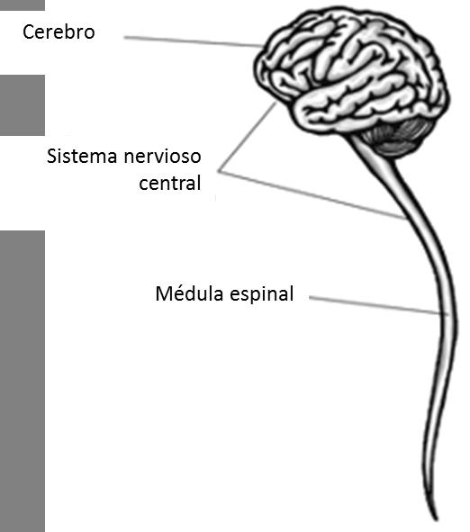 Introducción Al Sistema Nervioso Share4rare